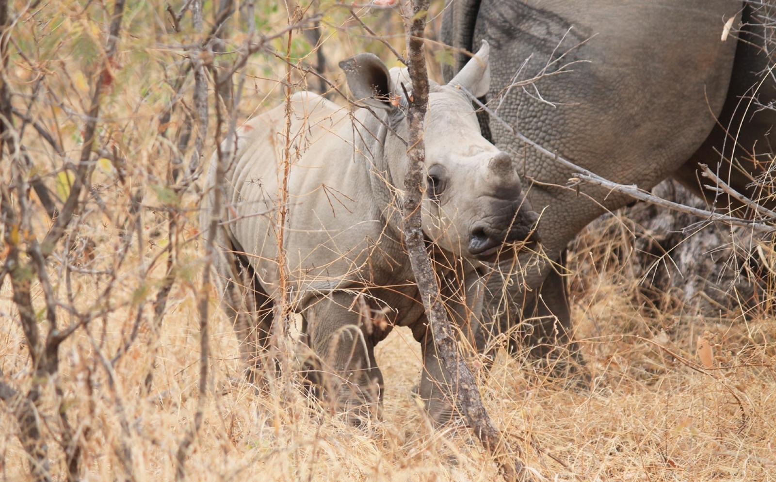 アフリカ大陸のボツワナに生息する野生のサイの赤ちゃん